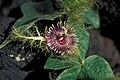 Starr 981201-0219 Passiflora foetida.jpg