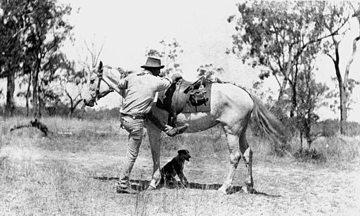 StateLibQld 1 180751 Stockman prepares to mount his horse, 1910-1920