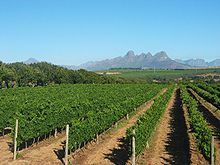 Stellenbosch Vineyard.jpg