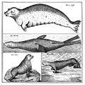 Steller - Abbildung aus Beschreibung von sonderbaren Meerthieren.jpg