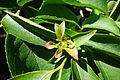 Stewartia rostrata - Arnold Arboretum - DSC06746.JPG
