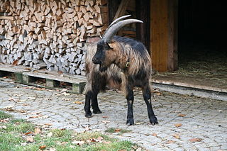 Stiefelgeiss goat breed