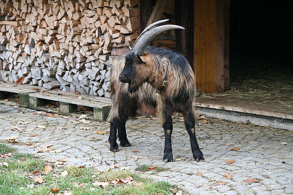 asian breed goat