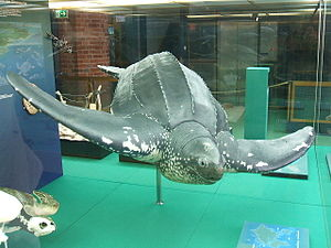 Dermochelyidae - Dermochelys is the only living representative of the leatherback turtles.