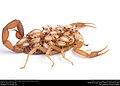 Striped Bark Scorpion (Buthidae, Centruroides vittatus (Say)) (36906271685).jpg