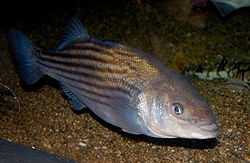 Striped bass, Boston Aquarium.JPG