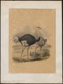Struthio camelus - 1842-1849 - Print - Iconographia Zoologica - Special Collections University of Amsterdam - UBA01 IZ18900017.tif