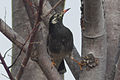 Sturnus cineraceus -Japan-8.jpg