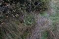 Succise des prés-Succisa pratensis-Tourbière de Gimel-20141011.jpg