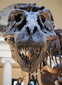 Sue TRex Skull Full Frontal.JPG