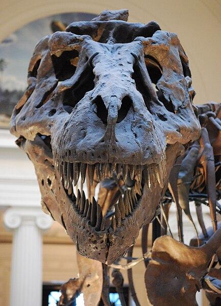 File:Sue TRex Skull Full Frontal.JPG