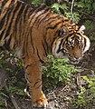 Sumatran Tiger 6 (6964781592).jpg