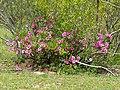 Summer Impala Lily (Adenium swazicum) (13605736423).jpg