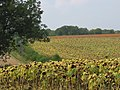 Sunflowers in Peak Lane, Upham - geograph.org.uk - 56411.jpg