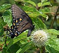 Swallowtail on buttonbush.jpg