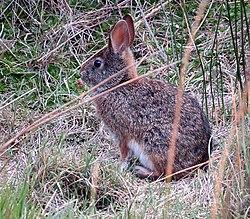 Un lapin des Andes, dans le paramo, en Équateur