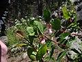 Symphoricarpos oreophilus 5734.JPG