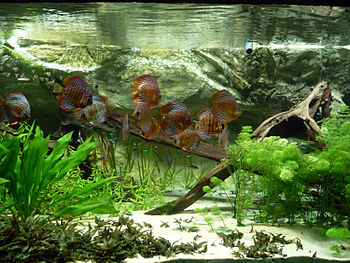English: Symphysodon tank with tetras Français...