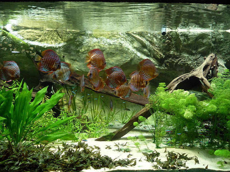 Adding rocks and wood to your freshwater aquarium for Aquarium wood decoration