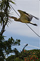 Syrigma sibilatrix -Punta del Este, Uruguay-8b.jpg