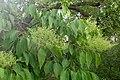 Syringa reticulata kz03.jpg
