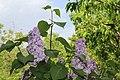 Syringa vulgaris 11.jpg