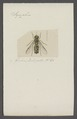 Syrphus - Print - Iconographia Zoologica - Special Collections University of Amsterdam - UBAINV0274 039 02 0069.tif