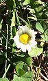 TINY WILD FLOWER IN ARU VALLEY , PAHALGAM, KASHMIR 3.jpg