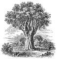 TRAH D051 Dragon tree of Orotova.jpg