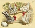Tab56 Hühner (Geflügel-Album, Jean Bungartz, 1885).jpg