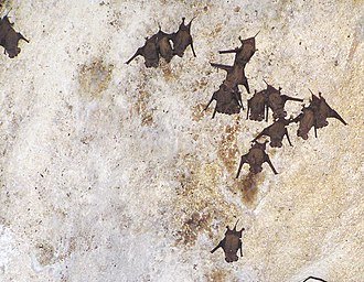 Mexican free-tailed bat - Free-tailed bats roosting at a cave in the Bahamas