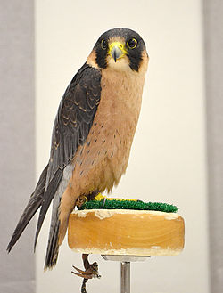 Taita Falcon at the World Center for Birds of Prey, Boise, Idaho, USA.jpg