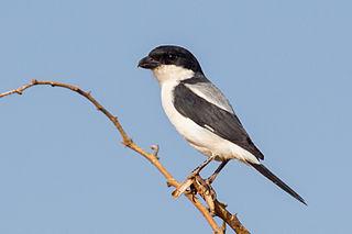 Taita fiscal species of bird