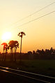 Tala gacha Palm Tree Odisha.jpg