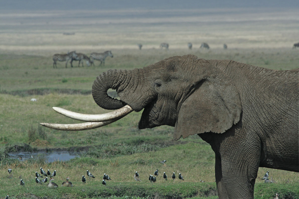 the four tusked elephant A new paper describing genomes of an extinct elephant species adds new data about their the four straight-tusked elephants did not cluster together within this.