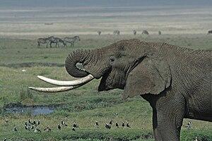 Tusk - Elephant