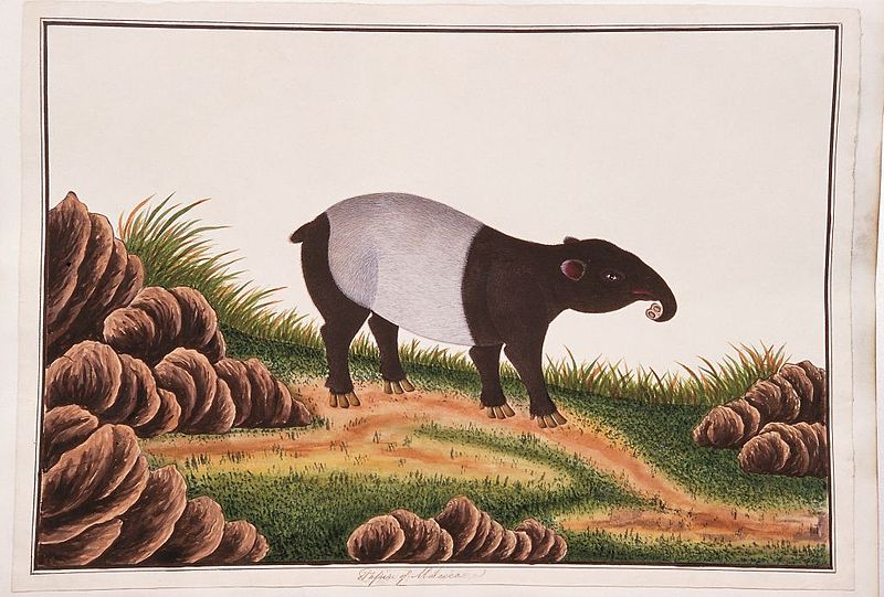 File:Tapir of Malacca (William Farquhar Collection, 1819–1823).jpg