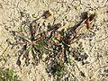 Taraxacum serotinum sl29.jpg