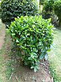 Tarenna asiatica-Jardin botanique de Kandy.JPG