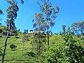 Tea estate Damro tea plantation.jpg