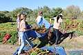 Team effort to carry the heavy piles of iceplant (25362592474).jpg