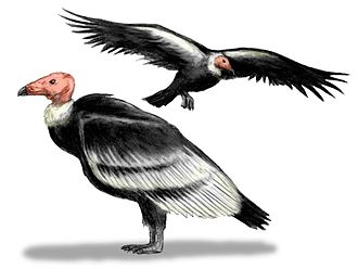 Teratornithidae - Teratornis, reconstruction. The naked heads have been disputed, see text.