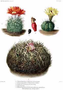The Cactaceae Vol III, plate XXIII filtered.jpg
