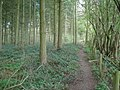 The Daffodil Way tracks the eastern edge of Allum's Grove - geograph.org.uk - 769239.jpg