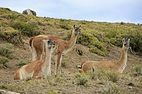 The Guanacos (5463459483).jpg