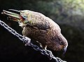 The Kea.Alpine parrot. (8100868198).jpg