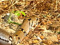 The Montane Trinket Snake (Coelognathus helena monticollaris) 27.JPG