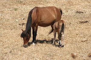 Skyros Pony - Skyros mare and foal
