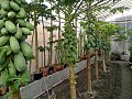 The greenhouse of Mehrigiyo.jpg