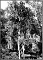 The indigenous trees of the Hawaiian Islands (1913) (20732820951).jpg